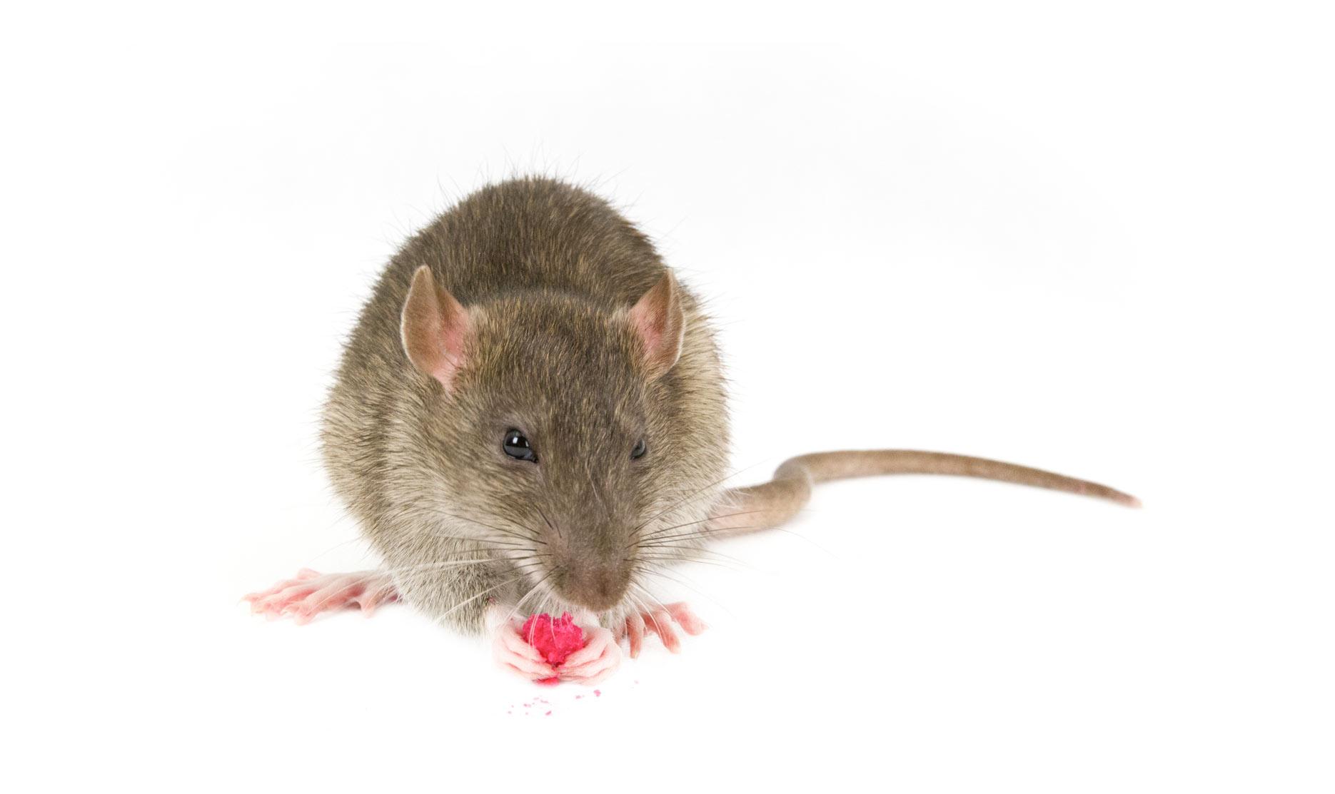 Ratón con raticida